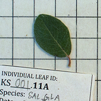 49. Leaf of a Salix glauca plant collected for trait analyses (photo-copyright: Normand-Treier)