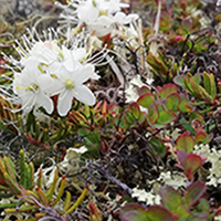 51. Arctic Tundra Plant Species, Disko Island, Greenland, 2018 (photo copyright: Normand-Treier)
