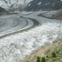 7. Establishment of Picea abies along the Aletsch Glacier (Photo-copyright: Normand-Treier)