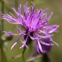 9. Shift in cytotype frequency and niche space in the invasive plant Centaurea maculosa (Photo-copyright: Normand-Treier)