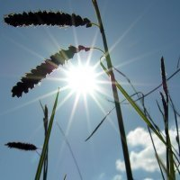 15. Carex flacca in sun (Photo-copyright: Normand-Treier)