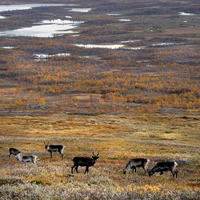 17. Rangifer tarandus in Sarek nationalpark, Sweden (Photo-copyright: A Neumann, Biopix.dk)