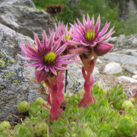 21. Sempervivum montanum: the geographic range of this species is mainly determined by climate (23%) while limited postglacial migration (10%) plays a supplementary role (Photo-copyright: Urs A. Treier)